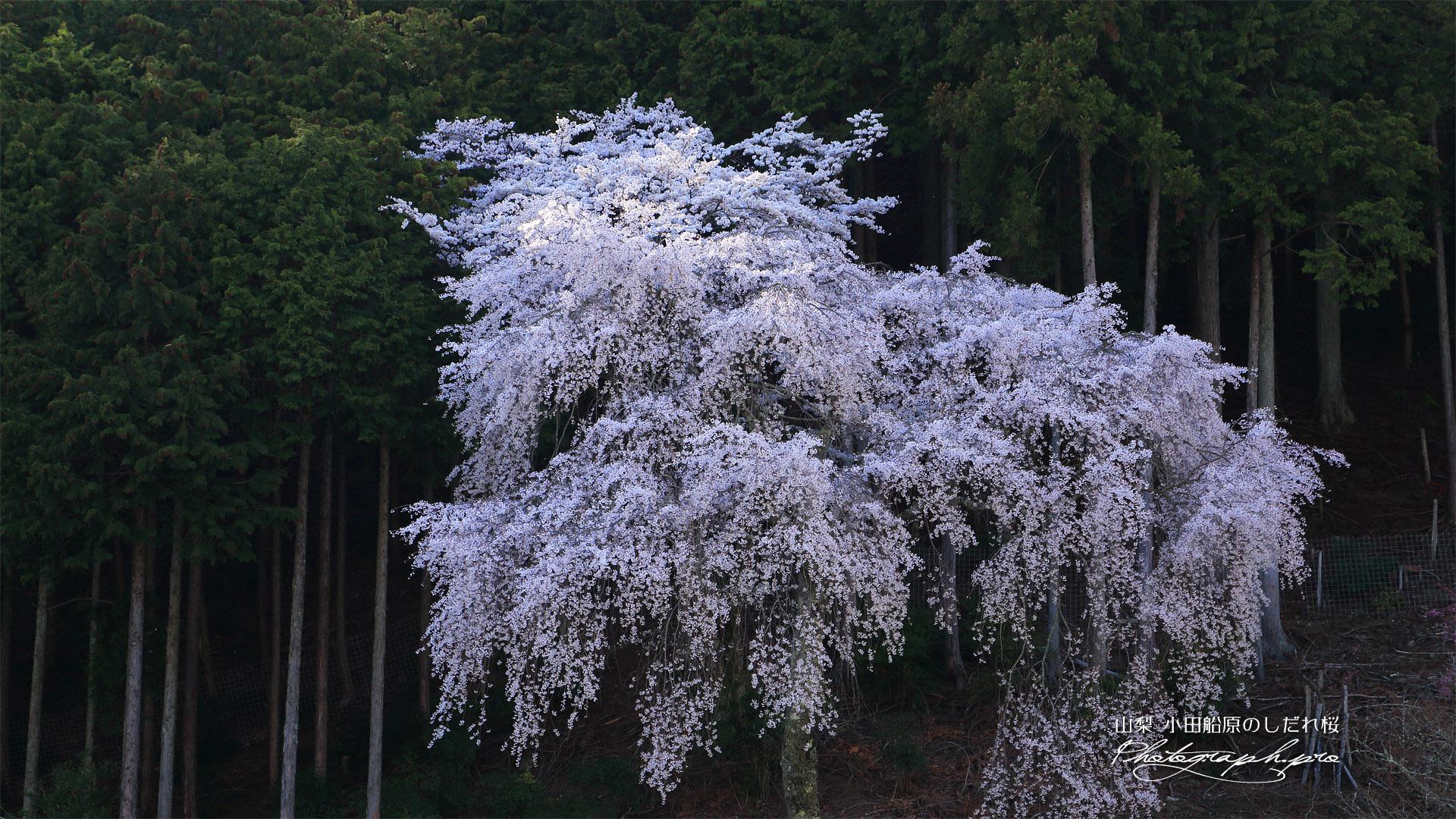 小田船原のしだれ桜