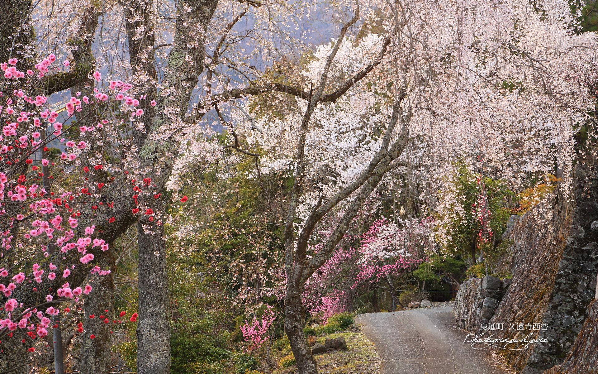 久遠寺西谷のしだれ桜