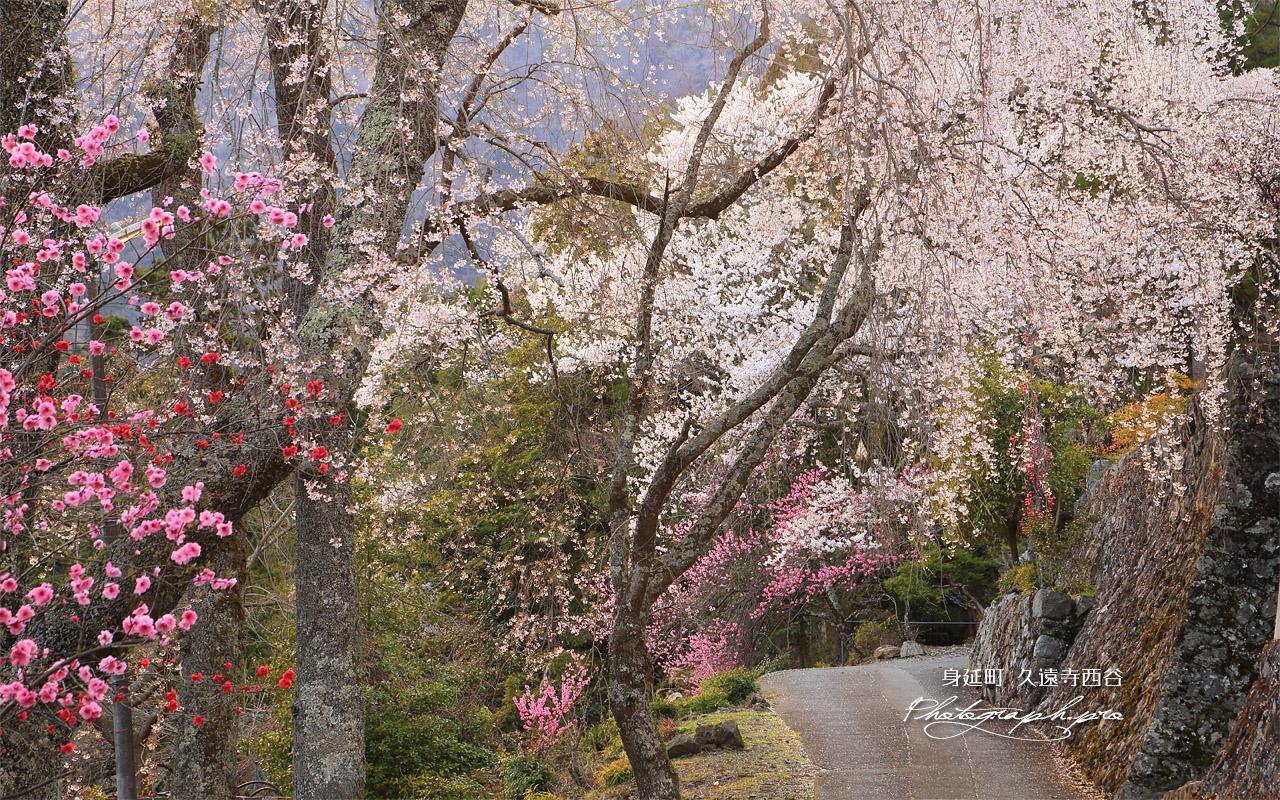 久遠寺西谷のしだれ桜 壁紙