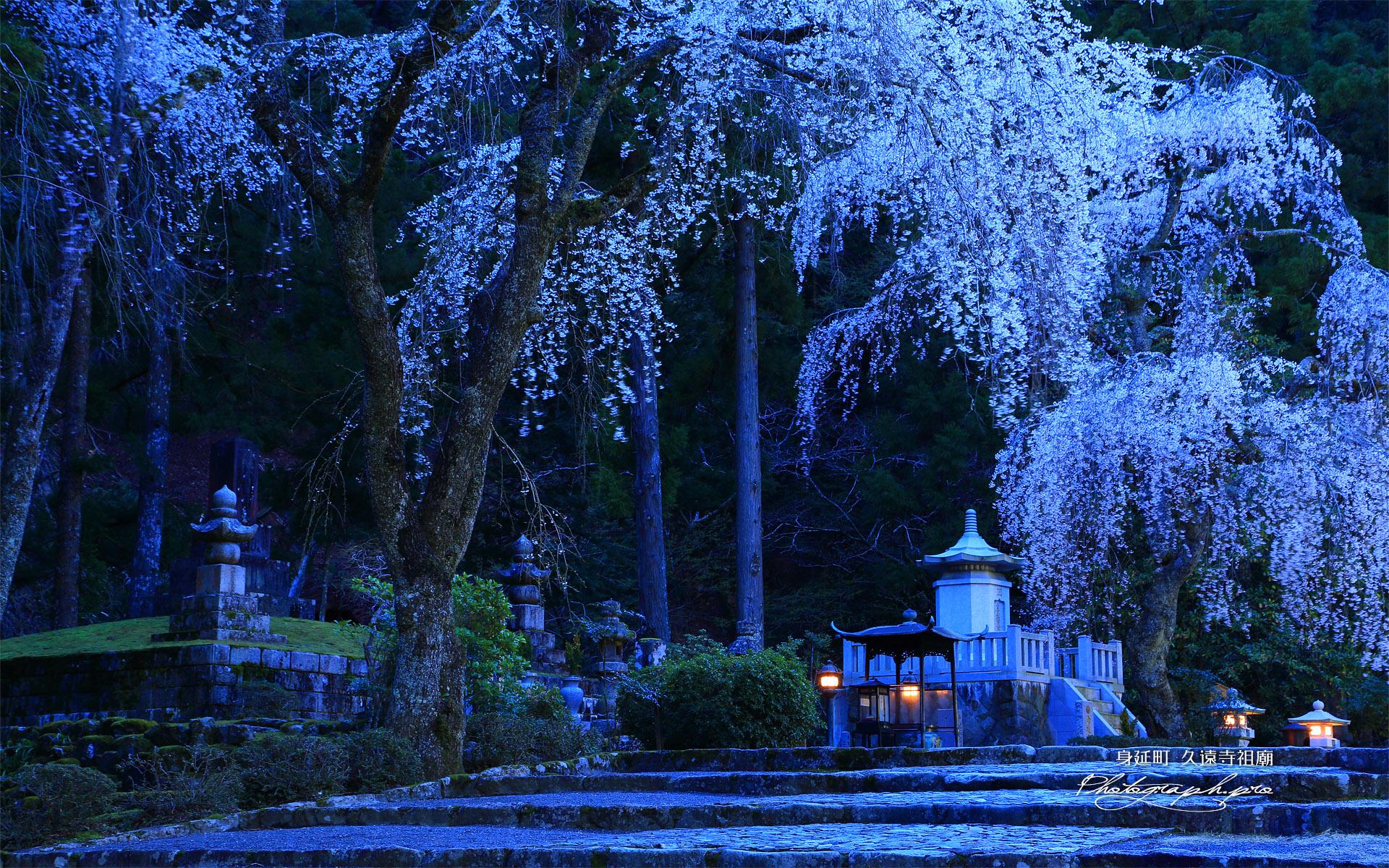 久遠寺祖廟のしだれ桜