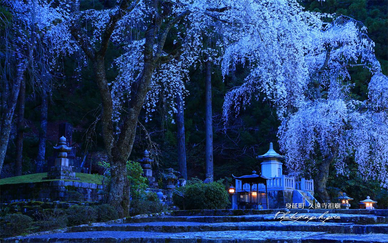久遠寺祖廟のしだれ桜 壁紙