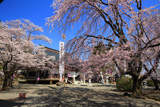 妙了寺のしだれ桜