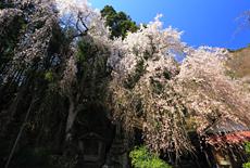 朝日堂のしだれ桜