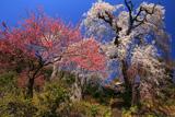 妙覚寺のしだれ桜
