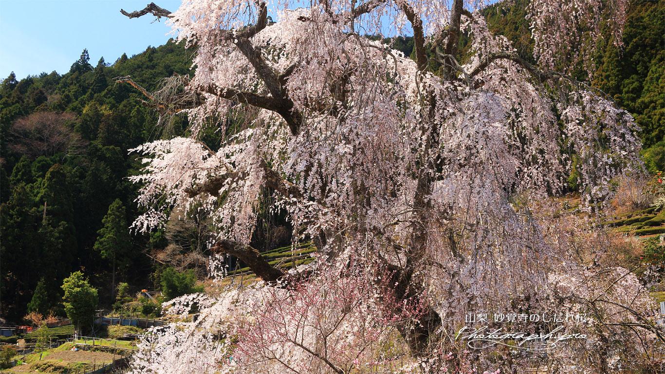 妙覚寺のしだれ桜 壁紙