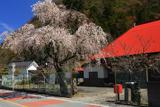 一円寺のしだれ桜