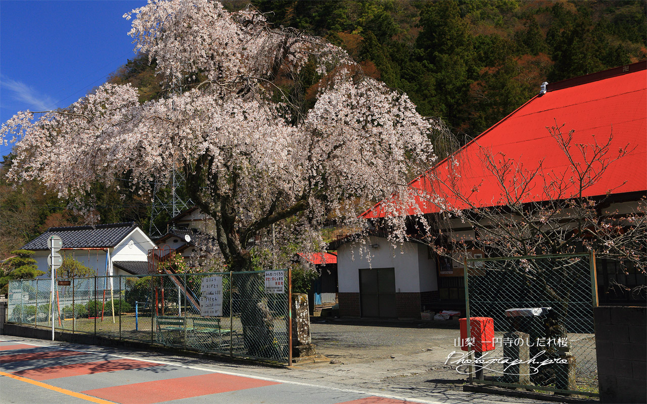 一円寺のしだれ桜 壁紙
