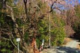 矢細工の糸桜
