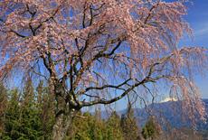 堂平のしだれ桜