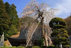 妙圓寺のしだれ桜