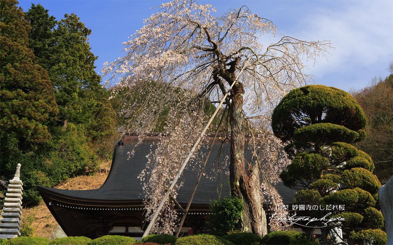 妙圓寺のしだれ桜 壁紙