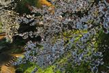 里見の一本桜