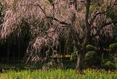 馬登のしだれ桜