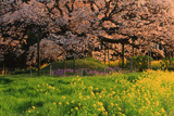吉高の大桜