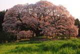 千葉県の桜