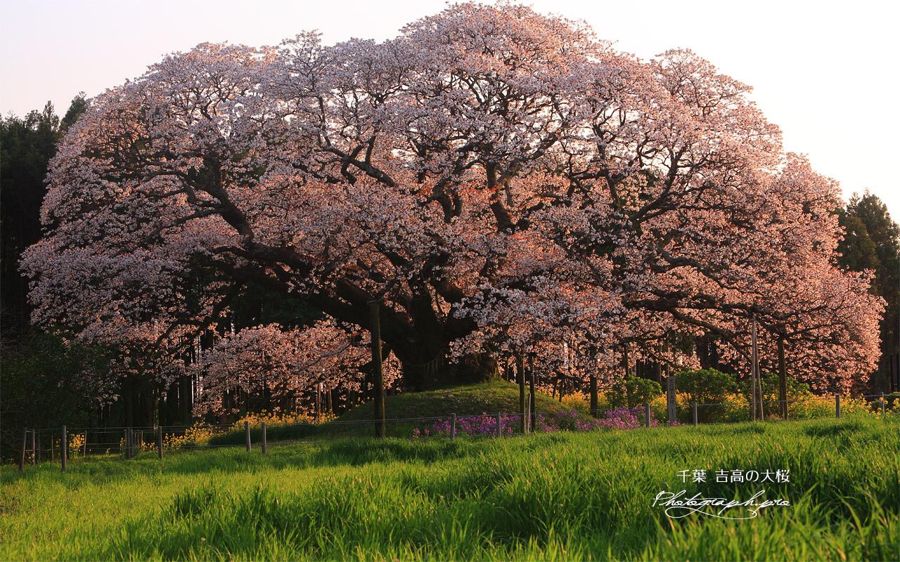 吉高の大桜 壁紙