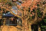 北本市保存樹木ソメイヨシノ