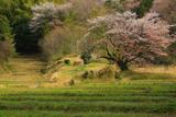 五反田谷戸の畦桜