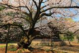 広園寺の山桜