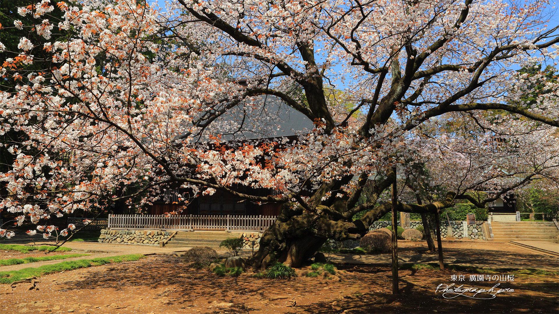 廣園寺の山桜