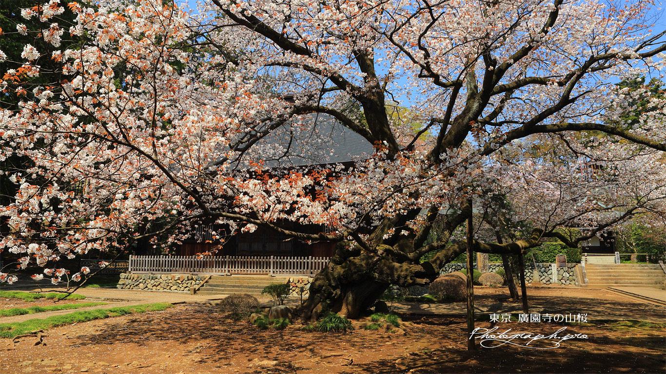 廣園寺の山桜 壁紙