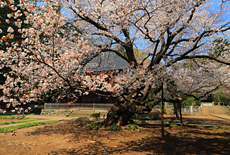 廣園寺の桜