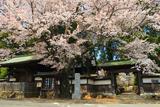 八王子市 廣園寺の桜