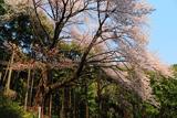 桜山の下大桜
