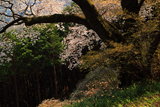 桜山の上大桜