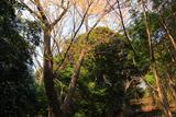 桜山の大山桜