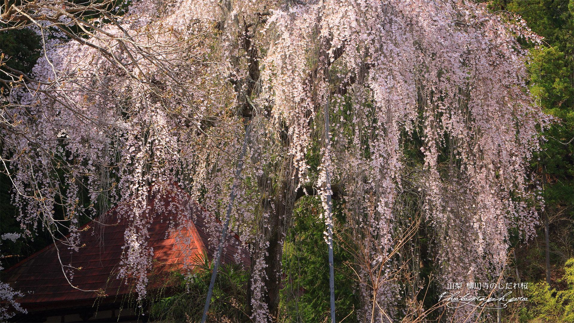 柳川寺のしだれ桜