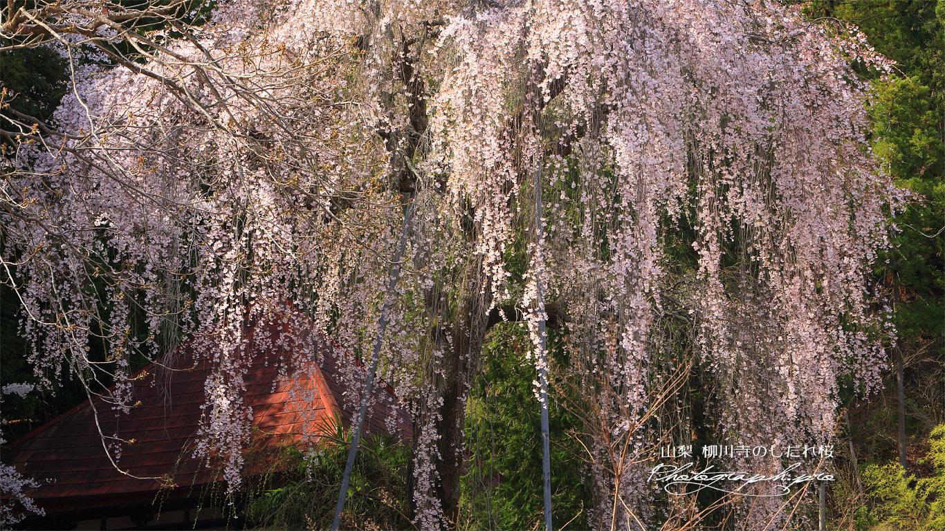 柳川寺のしだれ桜 壁紙