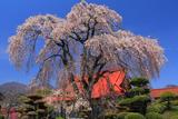 西念寺のしだれ桜