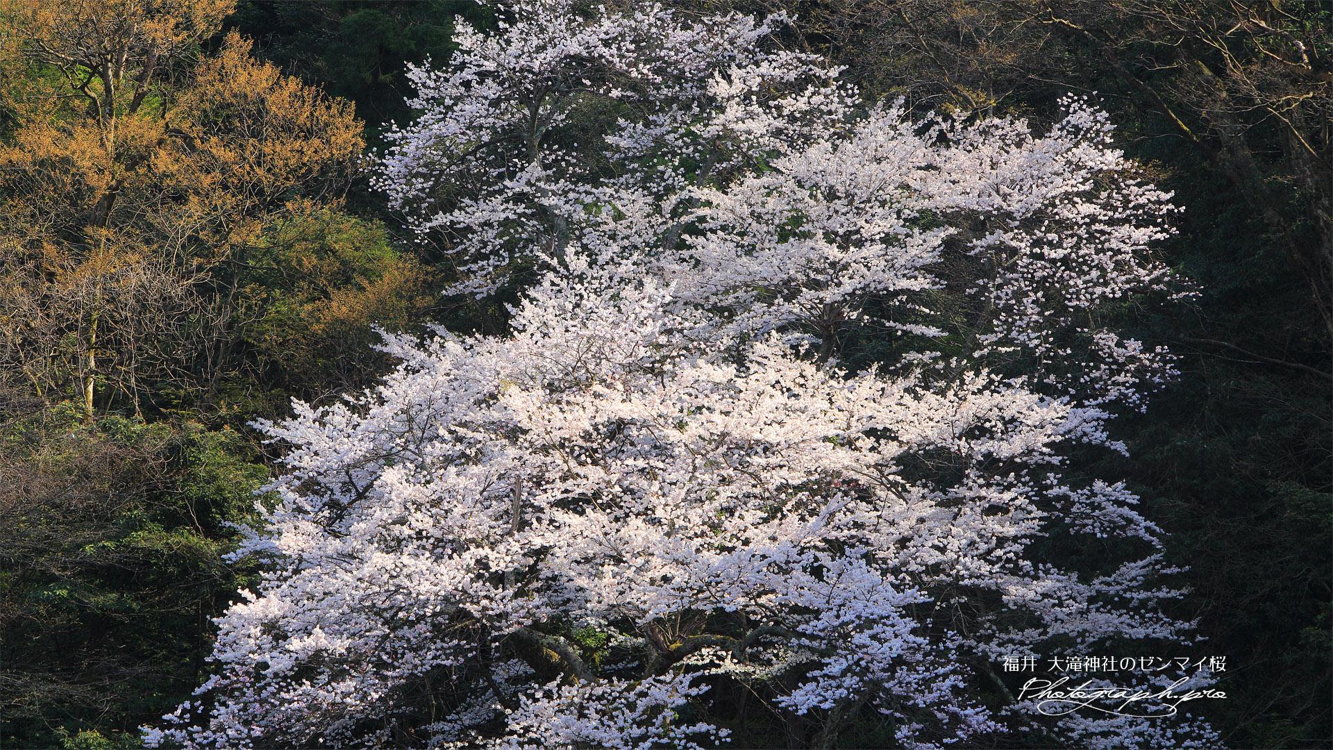 大滝神社のゼンマイサクラ