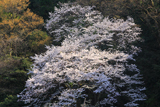 福井県の桜