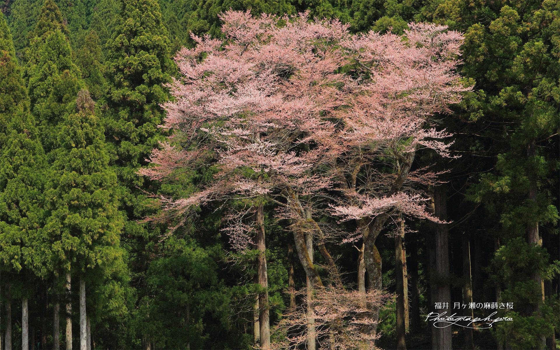 月ヶ瀬の麻蒔き桜