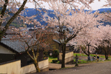 越前市 花筐公園の桜