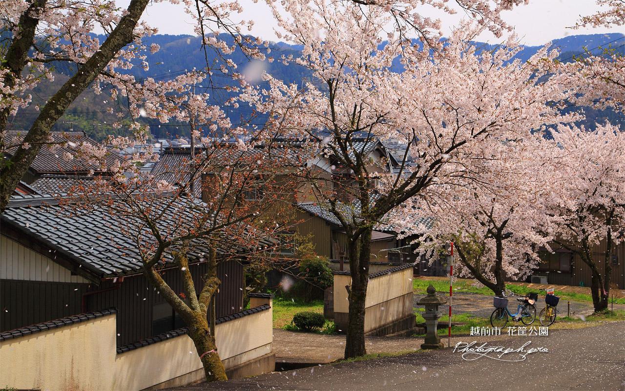 越前市 花筐公園の桜 壁紙