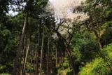 花筐公園の孫桜