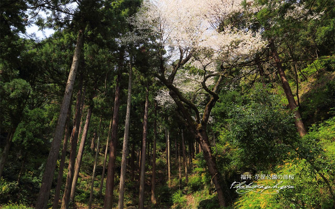花筐公園の孫桜 壁紙