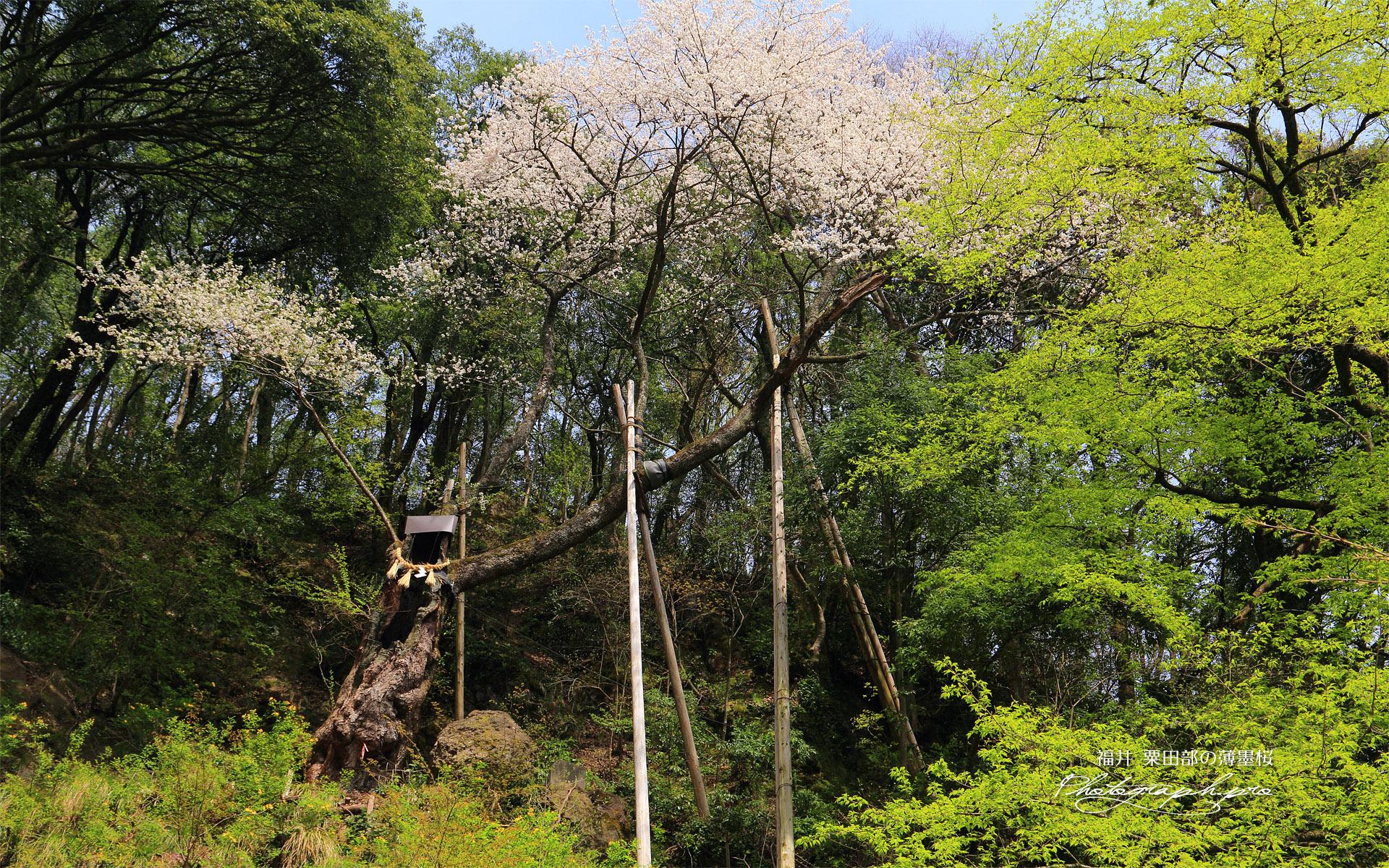 粟田部の薄墨桜