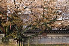 松月寺の大桜