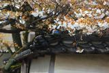 松月寺の御殿桜