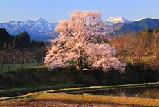 富山県の桜