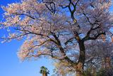 南砺市 水月寺墓地の桜