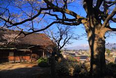 水月寺の江戸彼岸桜