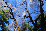 干谷の宮桜