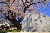 旧三日市小学校の百年桜