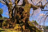 清水寺のエドヒガン桜