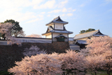 金沢城公園の桜
